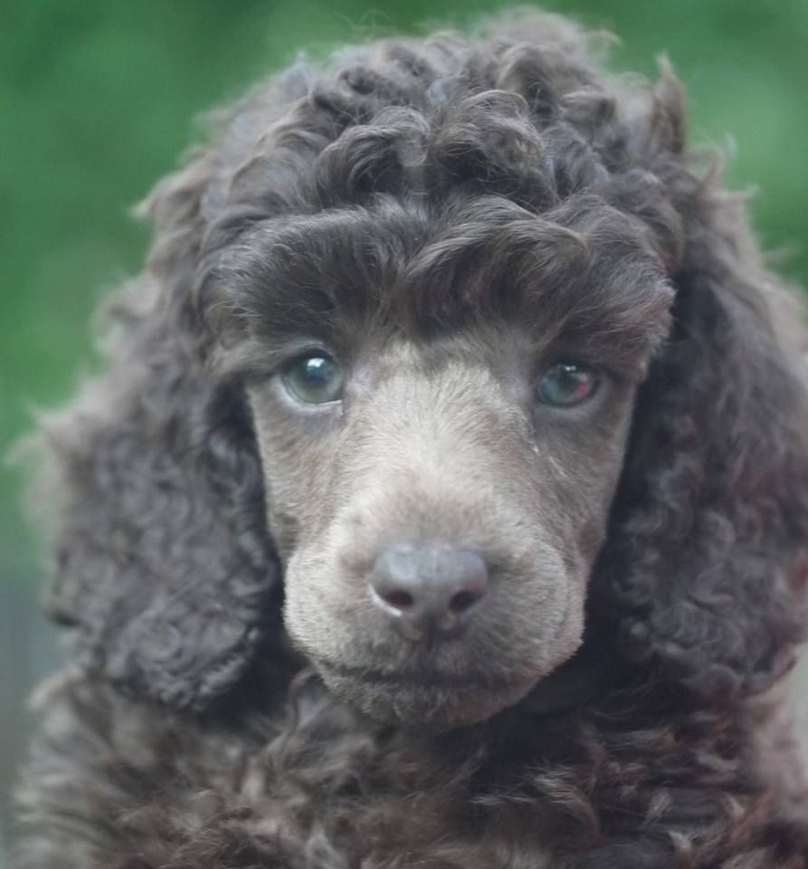Our new miniature poodle puppy! He is a silver beige from ...