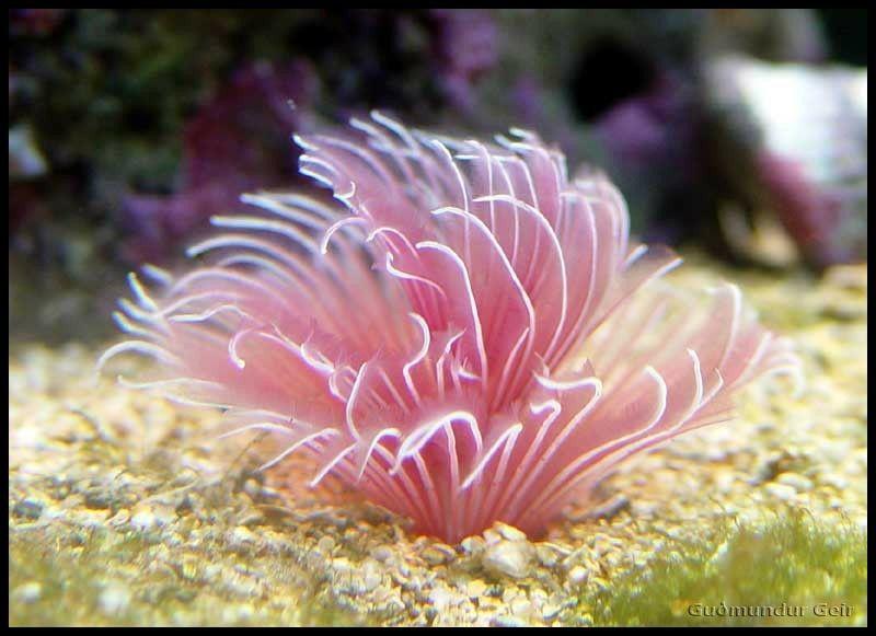 Feather Duster Worm Ocean Creatures Saltwater Tank Sea Creatures