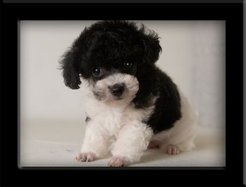 Black White Tiny Toy Parti Poodle Love Your Dog Visit Our Website