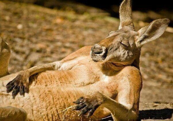 Male Red Kangaroo