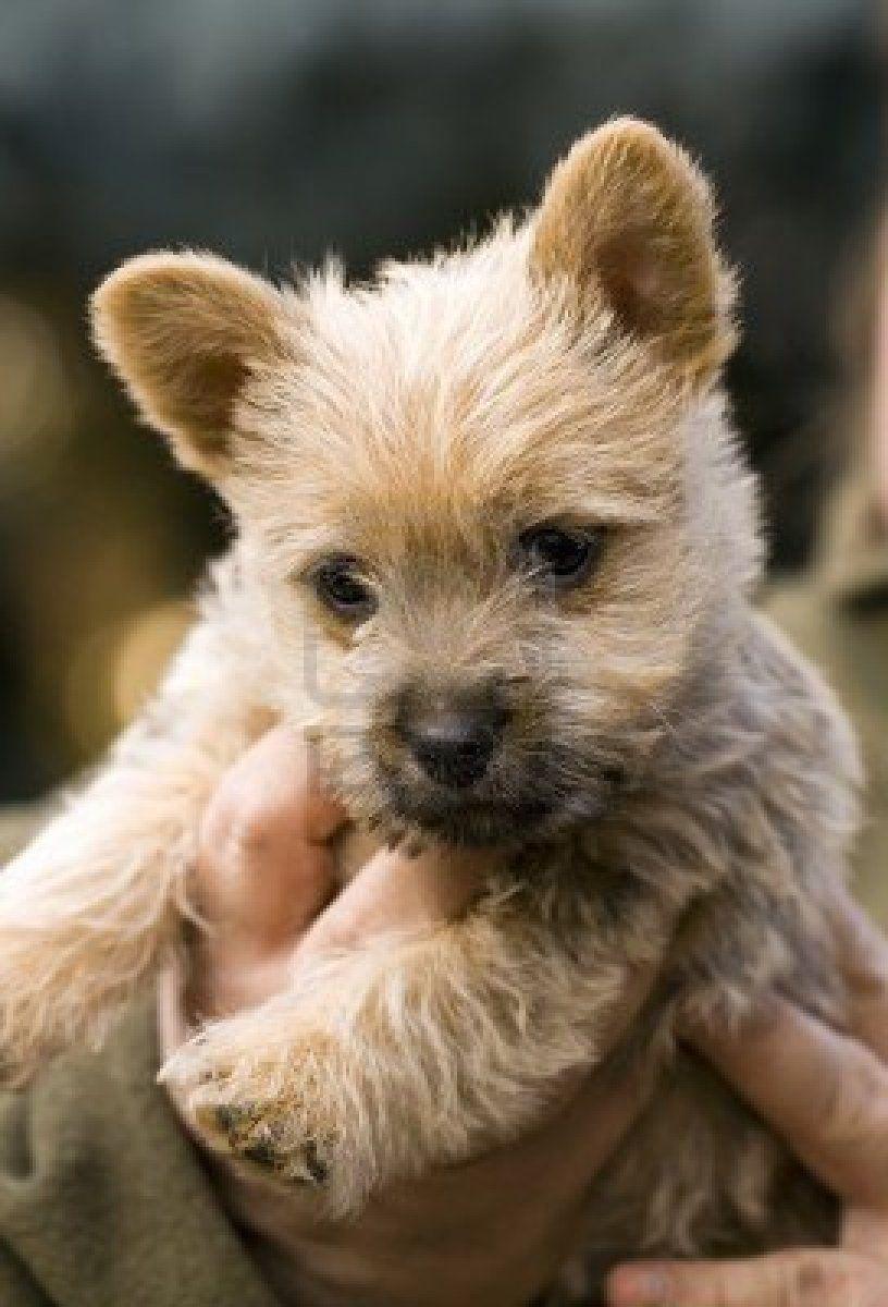 Norwich Terrier Puppy Hound Chien Perro Hond Hund Cane