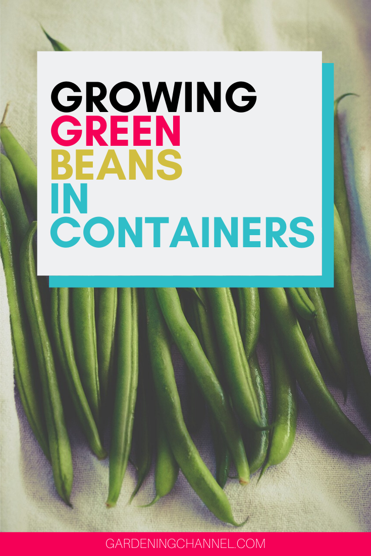 How To Grow Great Green Beans In Containers Green Beans Growing Green Beans Growing Vegetables