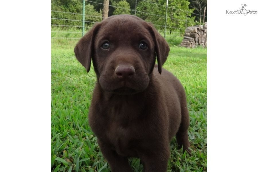 America Labrador Retriever Puppy For Sale Near Springfield Missouri 8bacb158 B7f1 Labradorretriever Labrador Labrador Retriever Labrador Retriever Puppies