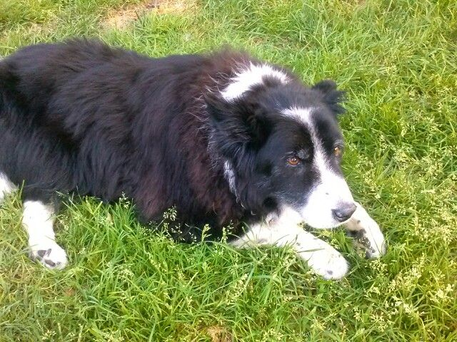My 15 Year Old Border Collie Jake The Best Dog Ever I Love You 강아지