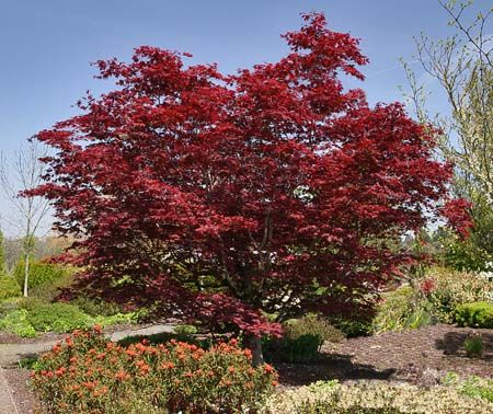 Japanese Maple Acer Palmatum There Are Too Many Varieties Of