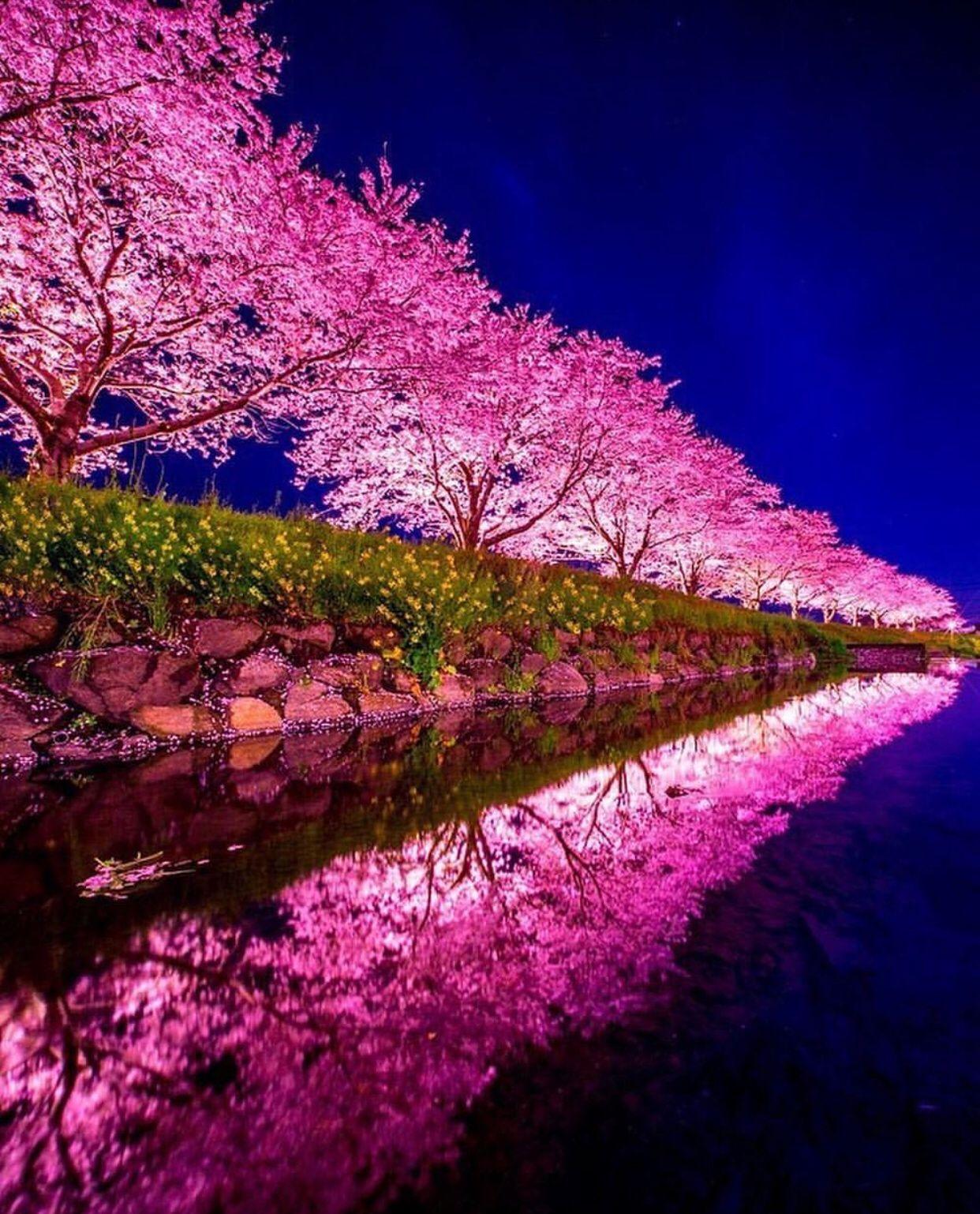 Cherry Blossom Night By Imgur User Jaxsonjames Beautiful Nature Amazing Nature Photography Beautiful Landscapes
