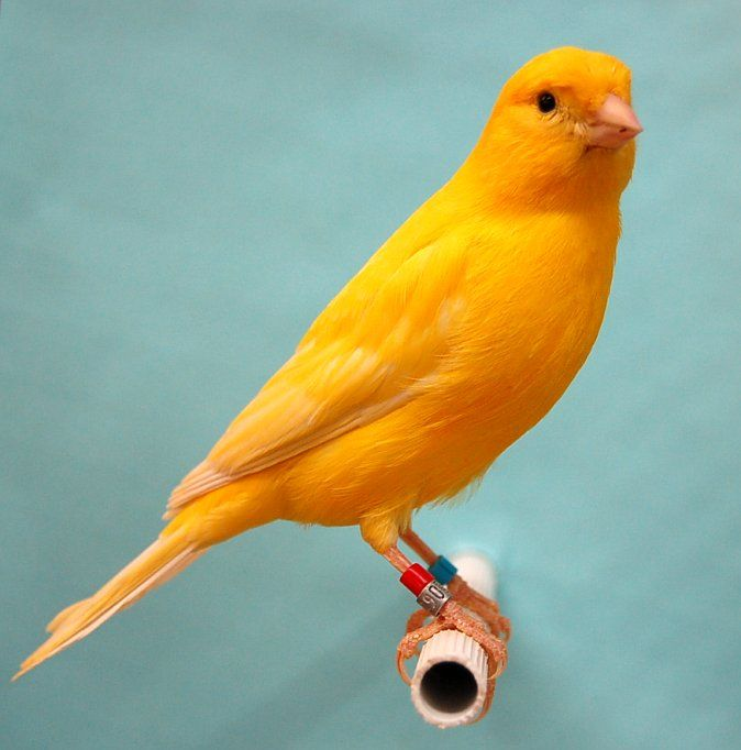 Yellow Intensive Canary With Images Canary Birds Pet Birds