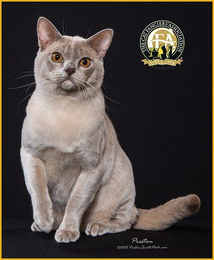 Gc Bw Nw Mayonaka S Cpr Lilac Male European Burmese 14th Best Cat In North America Japan Europe European Burmese Cats And Kittens Cool Cats