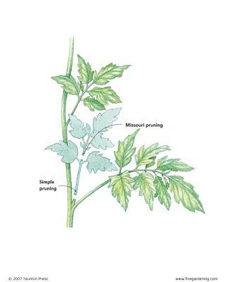 Backyard Gardening: Pruning Tomato Plants 101