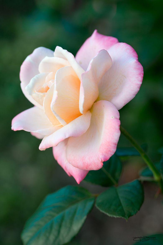 Photograph Rose Latitia Casta By Deplanque Cedric On 500px Rose