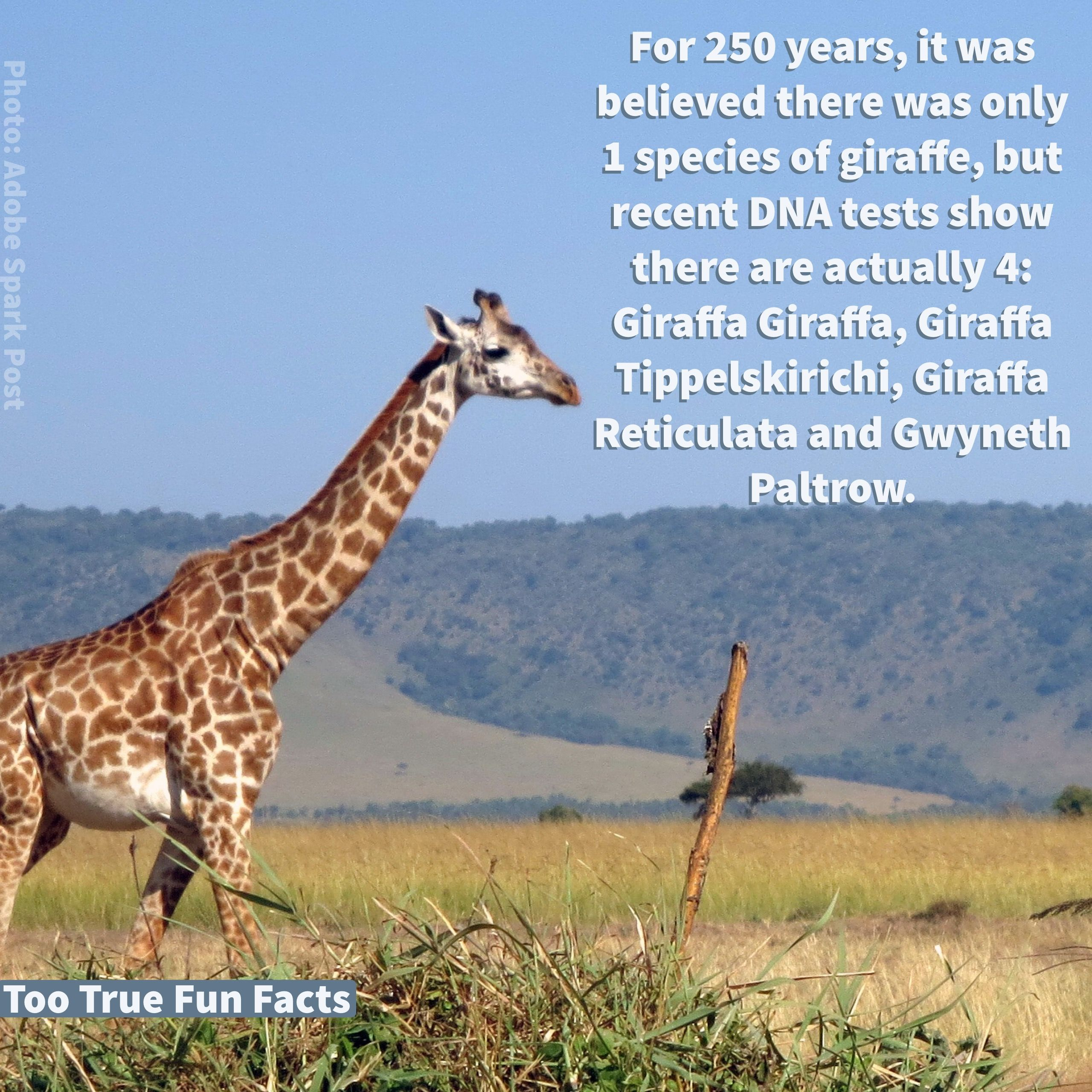 Giraffe Fun Fact. Too True Fun Fact is your Pinterest home