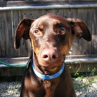 The Elka Almanac Available Dobermans At Doberman Rescue Unlimited Copper Had Natural Ears And Natural Tail Loves Car Doberman Rescue Dog Adoption Doberman