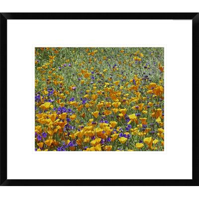 Global Gallery California Poppy and Desert Bluebell Flowers, Antelope Valley, California by Tim Fitzharris Framed Photographic Print Size:
