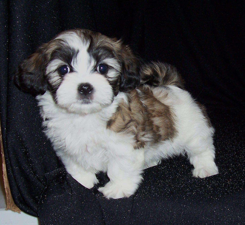 Shih Tese Maltese X Shih Tzu Shih Tzu Animals Cute Animals