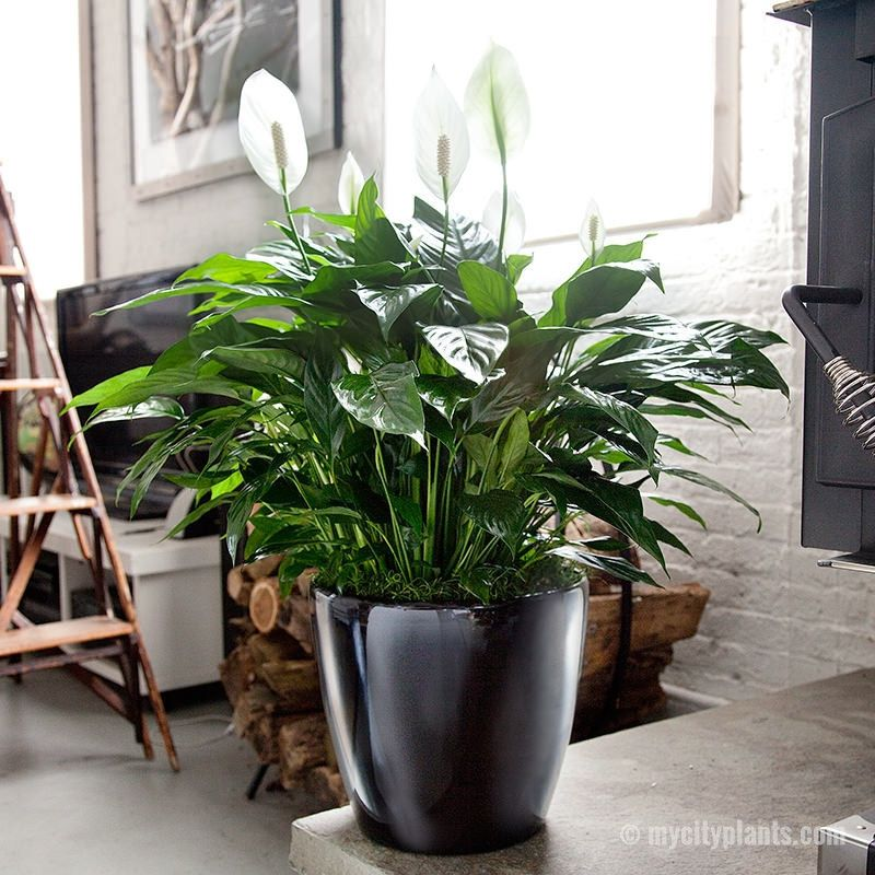 Peace Lily Classico 11 House Plants Indoor Best Air Purifying Plants Plants