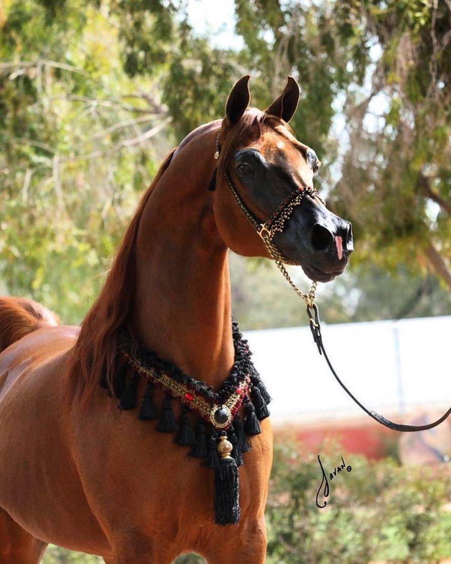 caballo arabes xp