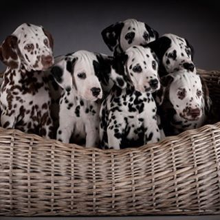 We want them all too. #Dalmatian #Puppies