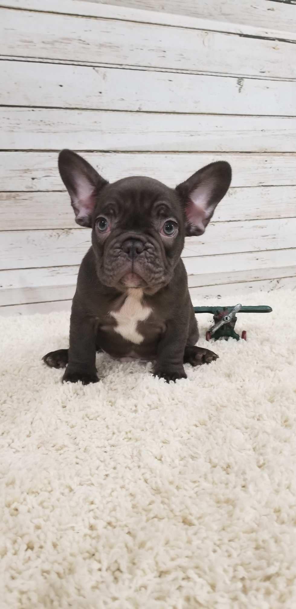 True chocolate French Bulldog French bulldog puppies