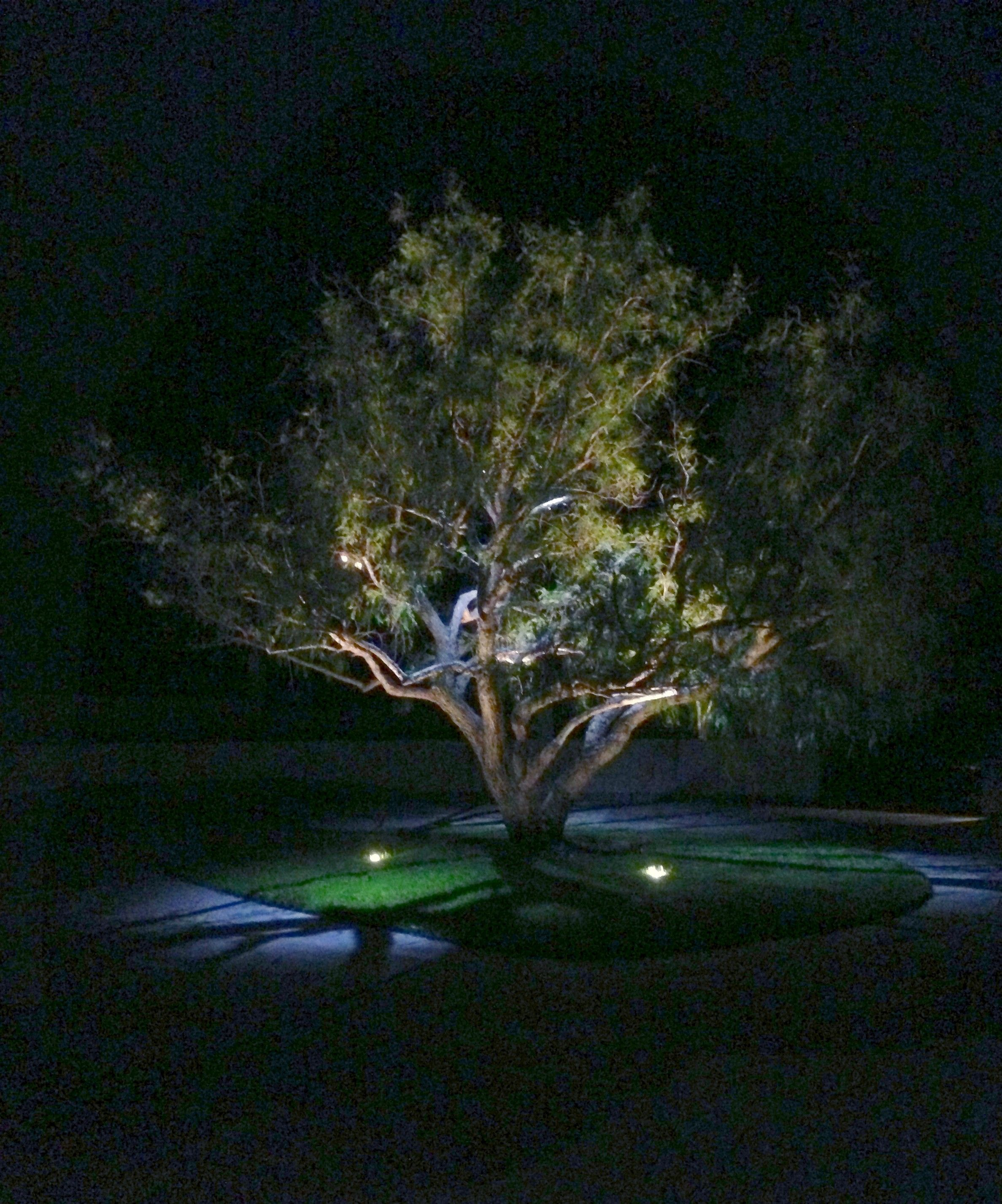 This Ca Pepper Tree Has Up Lighting And Moon Lighting. Up
