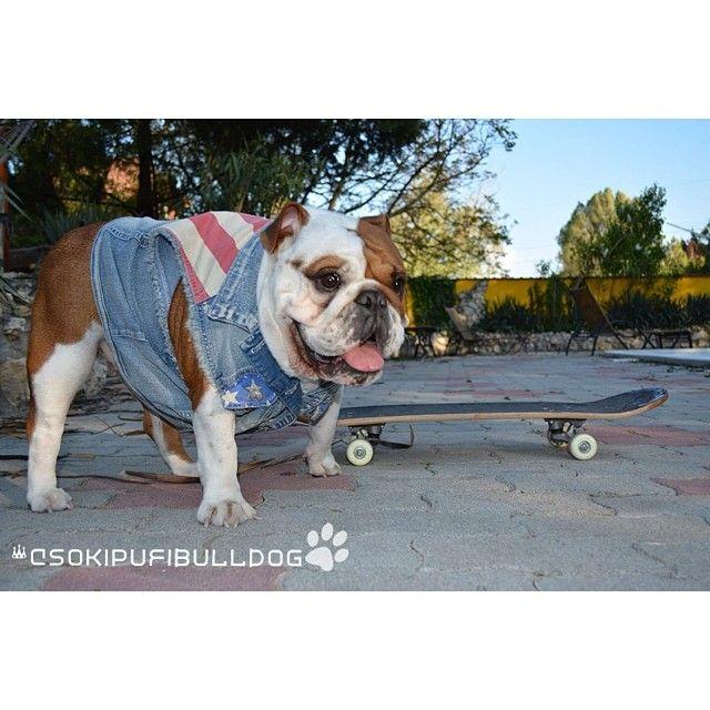 Csokipufibulldog Bulldogswag Bulldogfamily Bulldog Bully