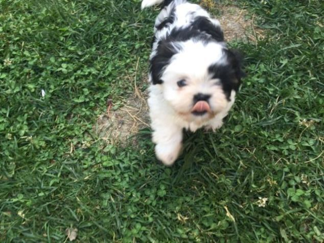 Shih Tzu Puppies For Sale Asheville Nc Shih Tzu Puppies For Sale Shih Tzu Puppy Shih Tzu Puppies
