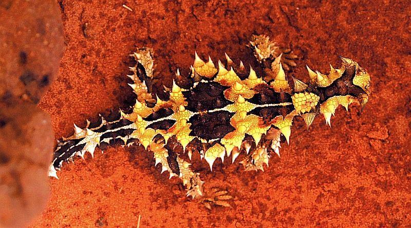 australian desert animals Google Search Desert animals