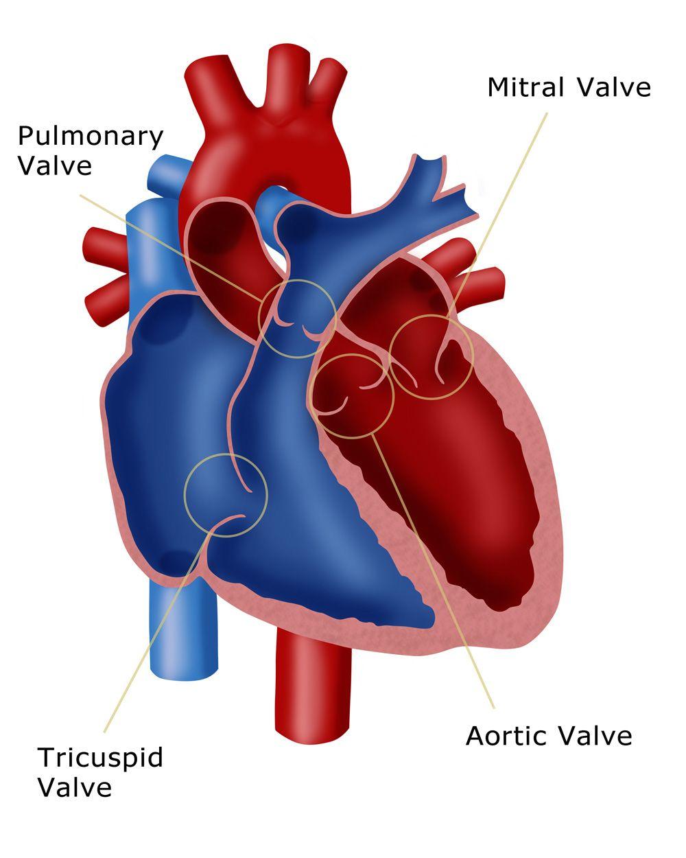 Pin by AngyScarlett on Heart | Pinterest | Heart anatomy, Anatomy ...