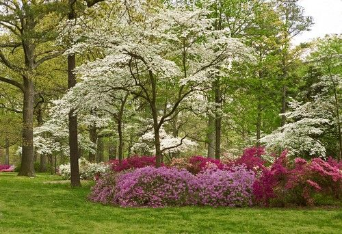 dogwoods and azaleas backyard