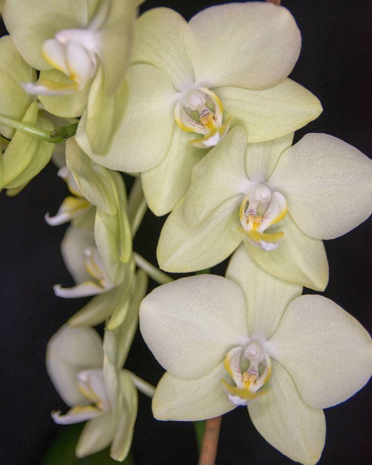 Es ist schön wenn man Familienmitglieder hat die wunderschöne Orchideen pflege... - Blumenfotografie - #Blumenfotografie #Die #Familienmitglieder #h... #blumenfotografie #die #familienmitglieder #hat #ist #man #orchideen #orchideenpflegen #pflege #schon #wenn #wunderschone #orchideenpflege