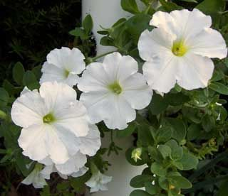 I M A Lonely Little Petunia In An Onion Patch Petunias Moon