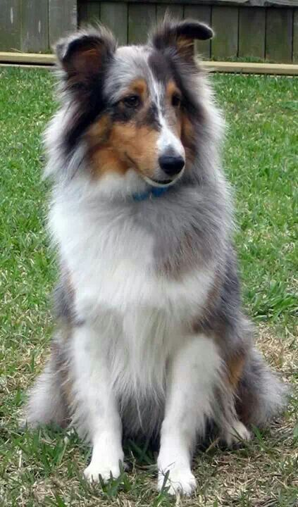 Pretty Markings On This Shetland Sheepdog Mit Bildern Hunde Rassen