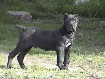 Cane Corso Italian Mastiff The Hubby And I Have Fallen In Love