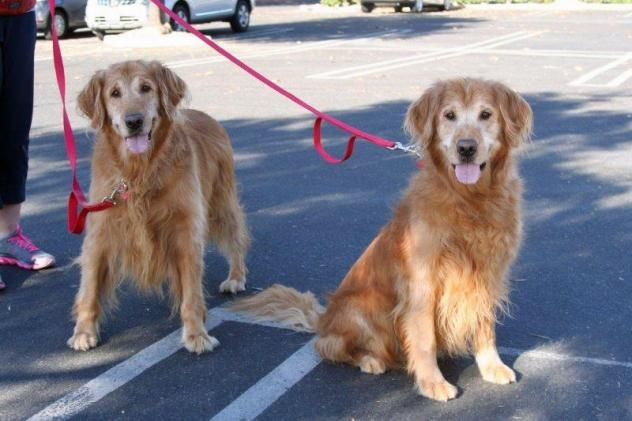 Adopt Justin 17 On Cat In Heat Old Golden Retriever Dogs