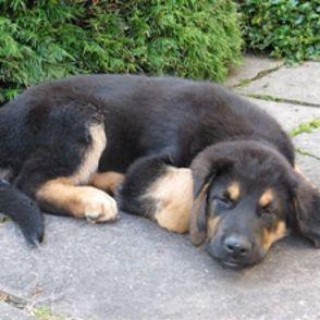 Berner Sennenhund Deutscher Schaferhund Mischling Xaver