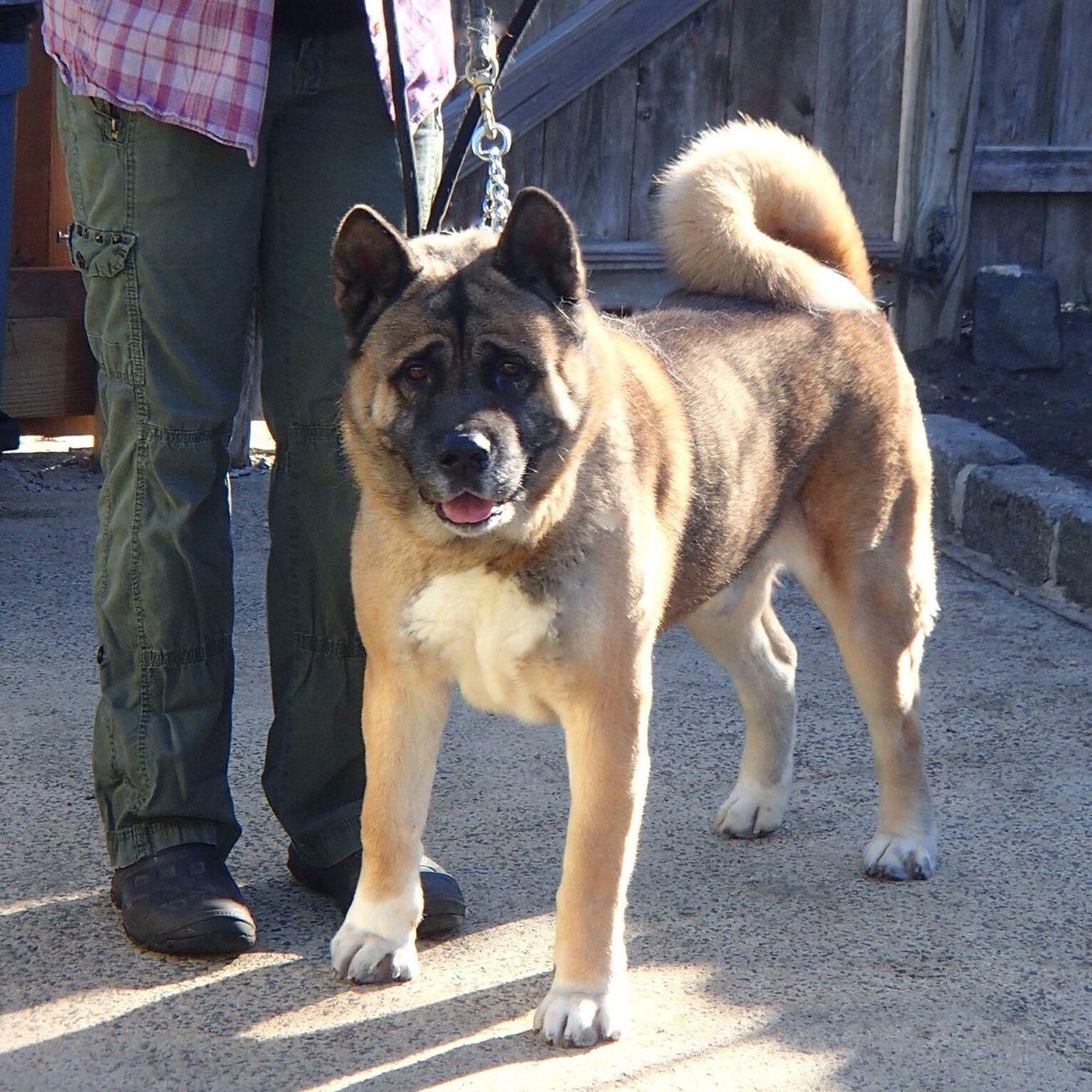 Zeke LOSTdog 6416 Akita Dog in Andes NY ( Catskills
