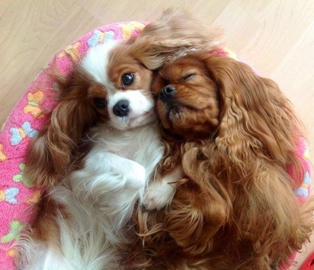 19 Reasons You Should Never Adopt A Cavalier King Charles King Charles Cavalier Spaniel Puppy Cavalier King Charles Dog King Charles Dog