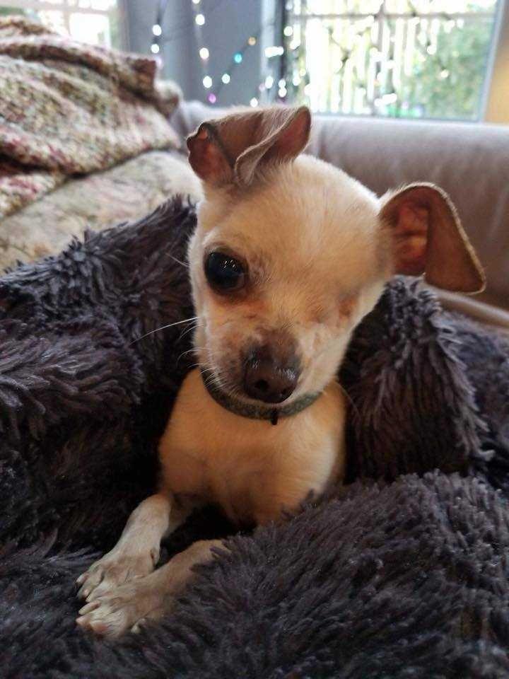 Chihuahua dog for Adoption in Sylmar, CA. ADN-818339 on PuppyFinder.com Gender: Female. Age: Adult