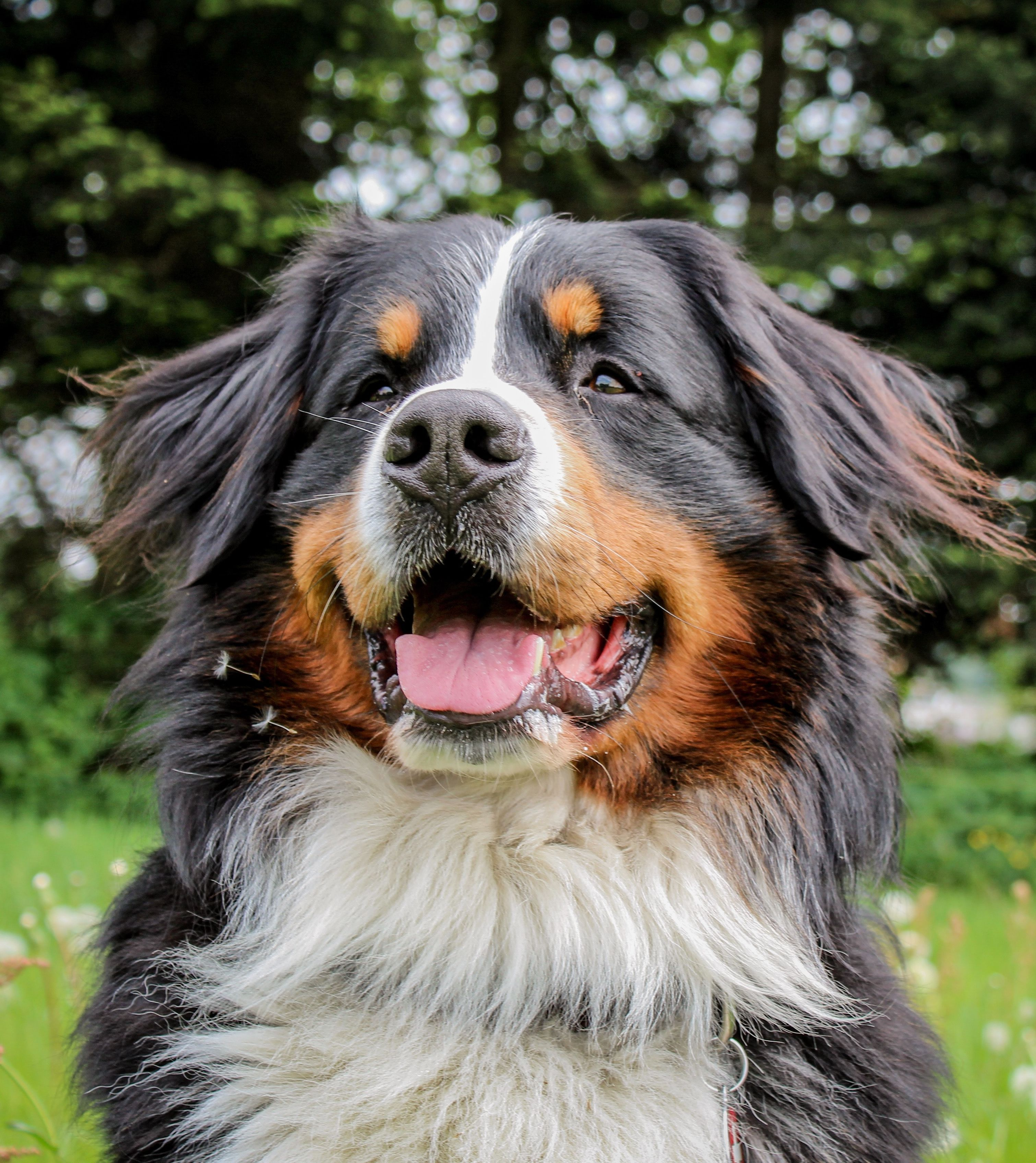 Training Greater Swiss Mountain Dogs Commands Every Dog