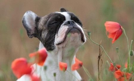 Taking time to smell the...poppies | French Bulldog