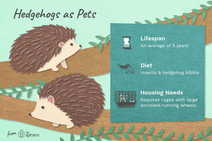 Where Do Hedgehogs Come From And How Do You Care For Them Hedgehog Pet Hedgehog Care Hedgehog