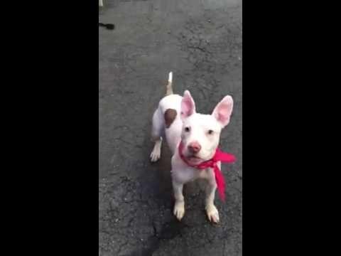 Coco A1079217 Adoptable Pets Pitbulls Dogs French Bulldog