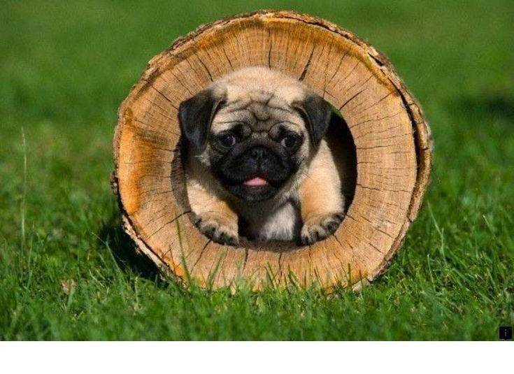 Discover More About Pug Rescue Near Me Click The Link For More