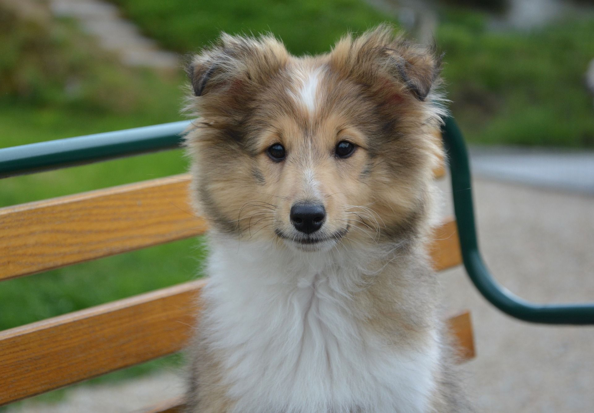Shetland Sheepdog Facts 9 Things Sheltie People Know By Heart Berger Des Shetland Chien Croise Shetland