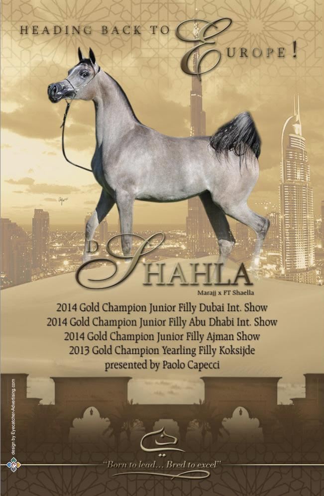 Dubai Arabian Stud Contenders Europe 2014 Arabian