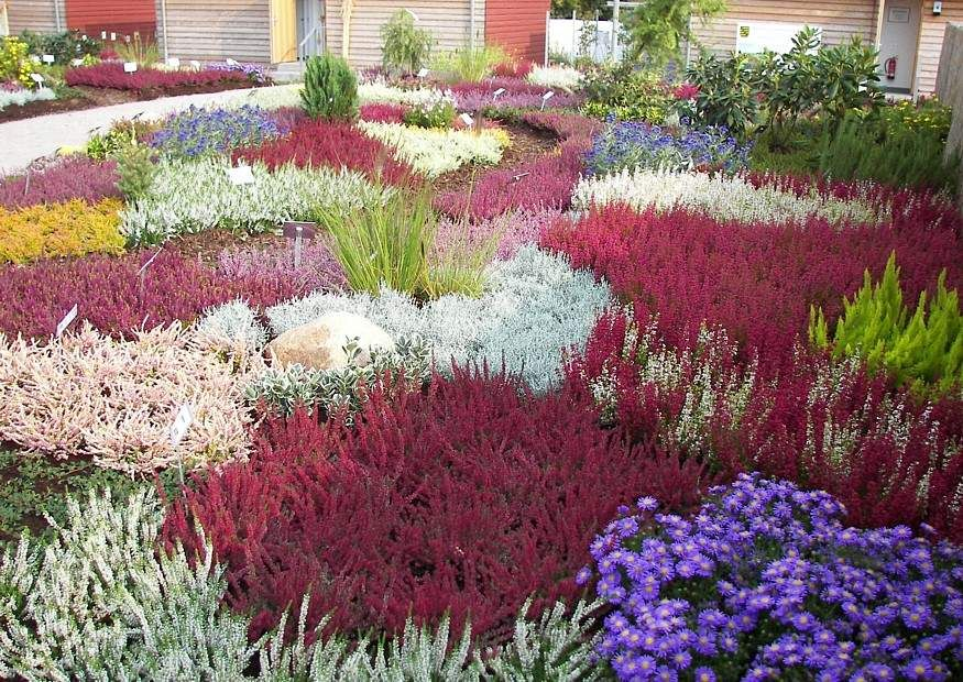 bilder und notizen]: blumen und pflanzen, calluna heidepflanzung, Garten ideen