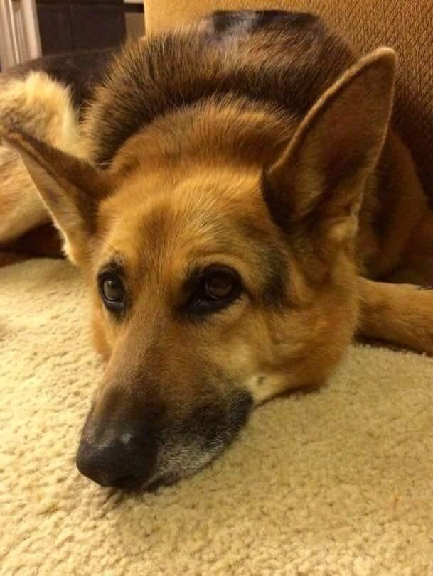 Adopt Ripley On German Shepherd Dogs Shepherd Dog Dogs