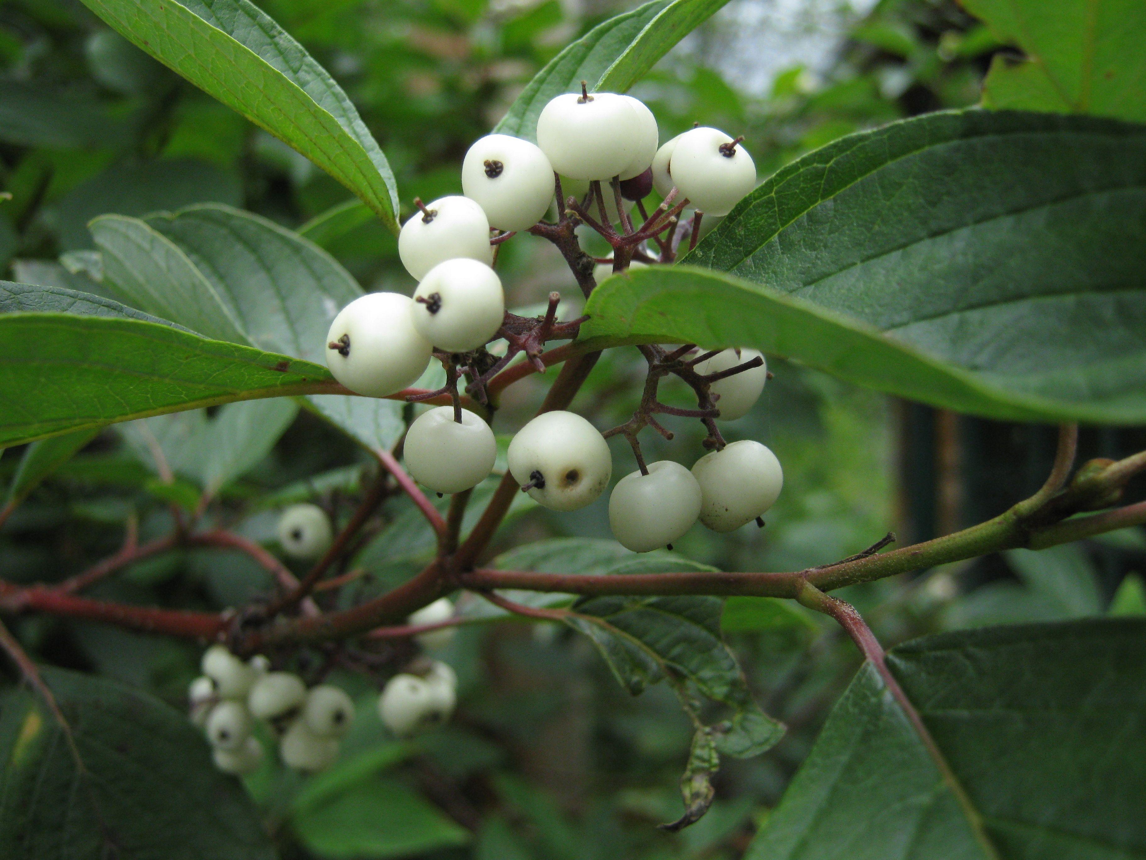 White Berries Cornus Alba Siberian Dogwood Winter Border