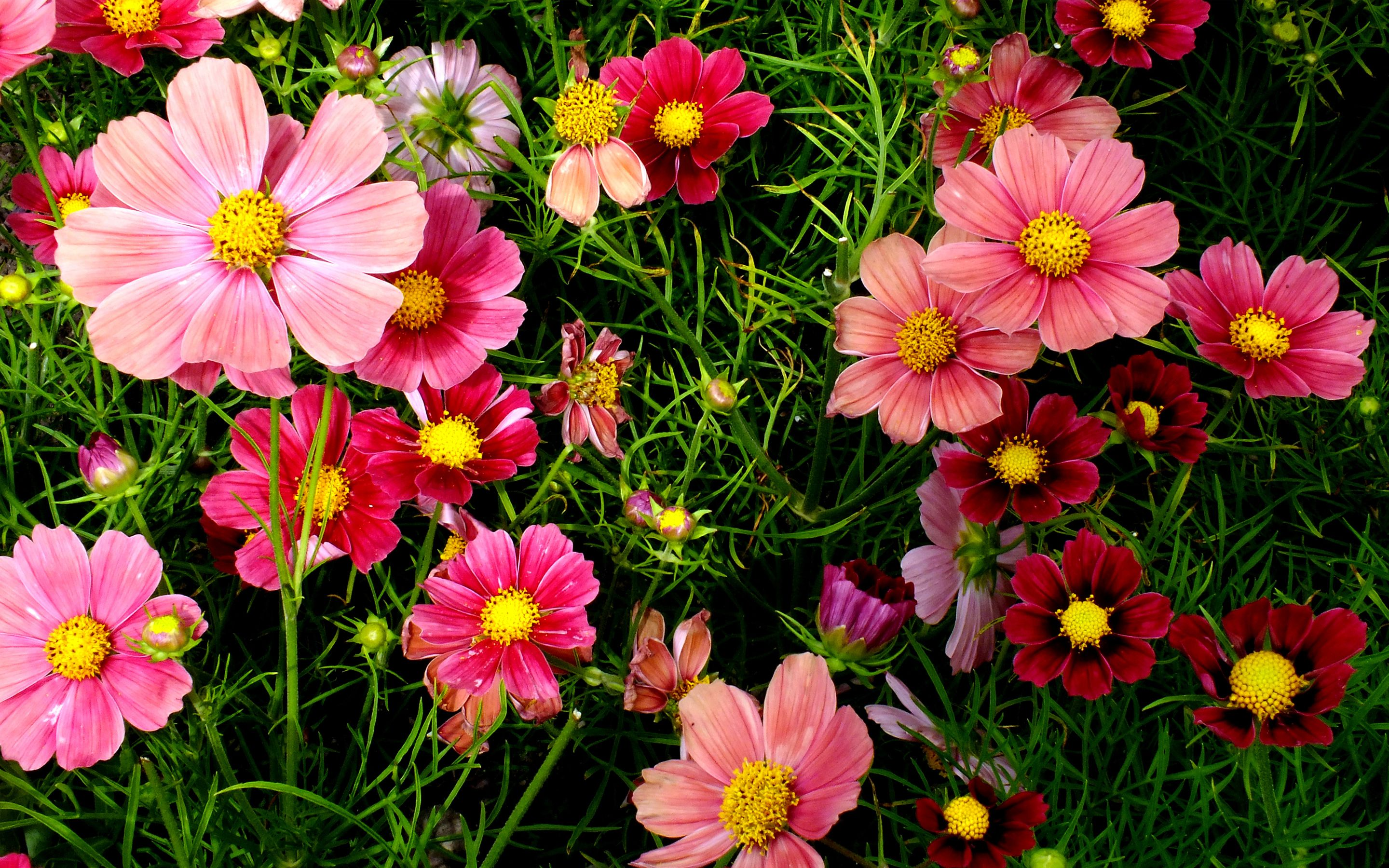 Jesus My Friend Cosmos Flowers Beautiful Flowers Images Flowers Online