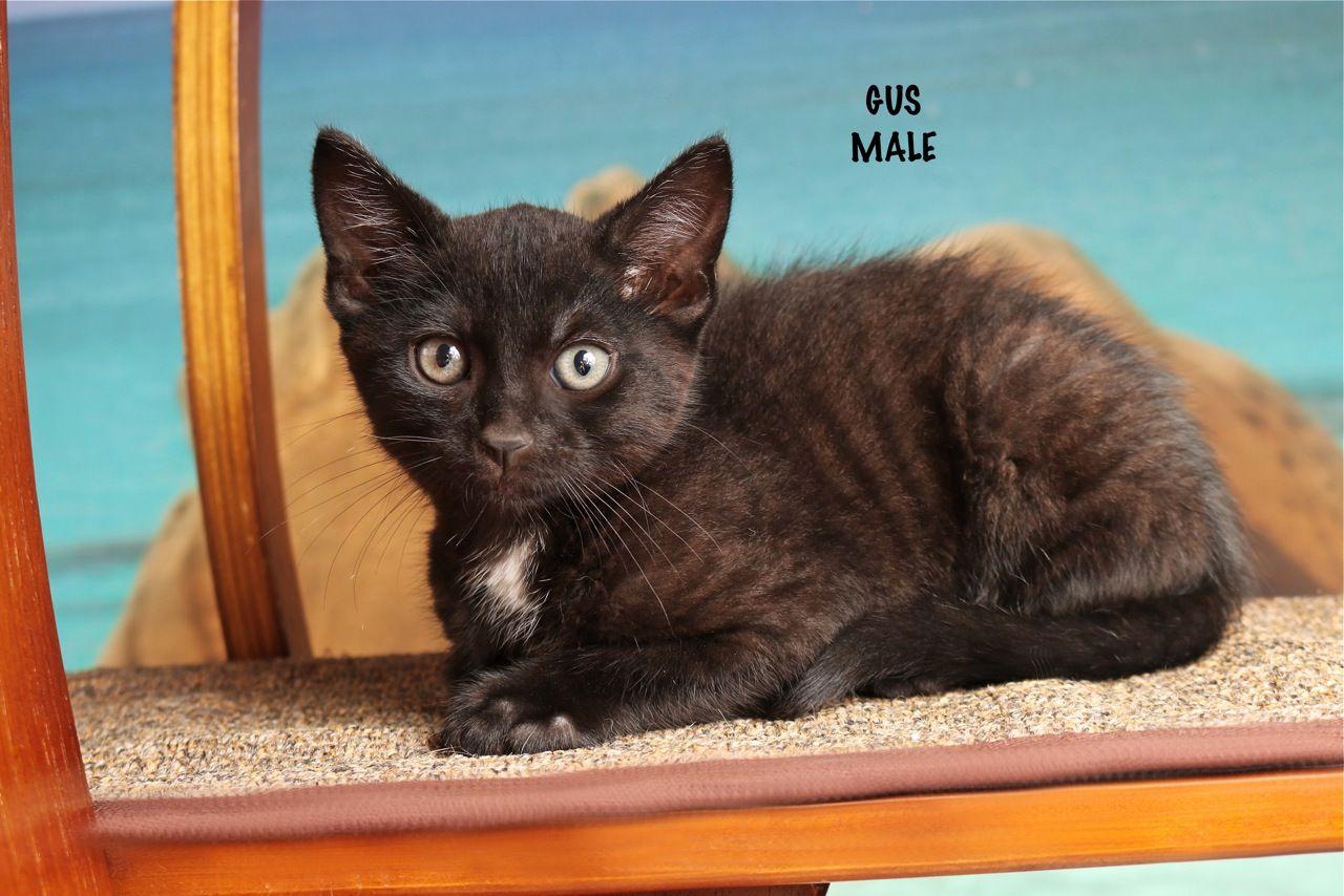 Gus Kitten Adoption Cat Adoption Siberian Cats For Sale