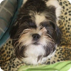 Illinois Meet A Little Miss Sunshine Is A Shih Tzu Mix Available For Adoption At A D O P T 420 Industrial Drive Napervill Shih Tzu Pets Pet Adoption